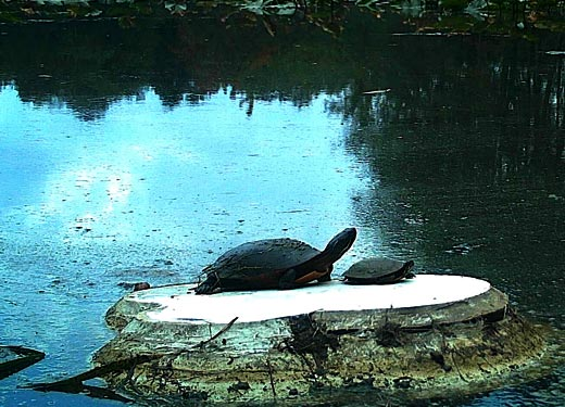 Turtle Platforms @ Bath Nature Preserve